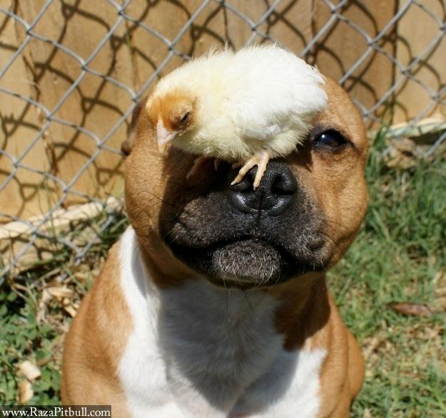 Perro Pitbull jugueton 1