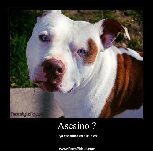 Imágenes con Frases sobre los Perros Pitbull