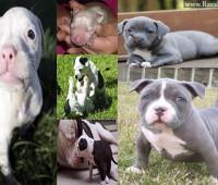 Perros Pitbull Cachorros [55 Fotos]