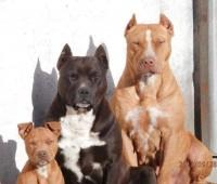 26 Razones por las que NADIE debería tener un Pitbull de mascota
