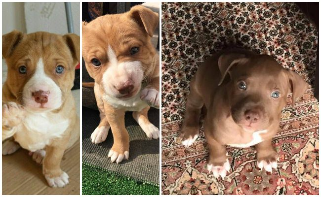 Consejos para cuidar un Cachorro Pitbull