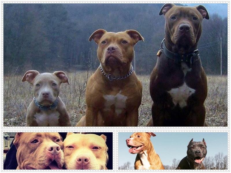 Carácter de los perros pitbull
