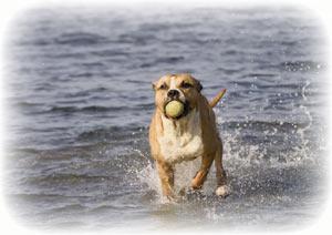 Perro pitbull jugando en el agua