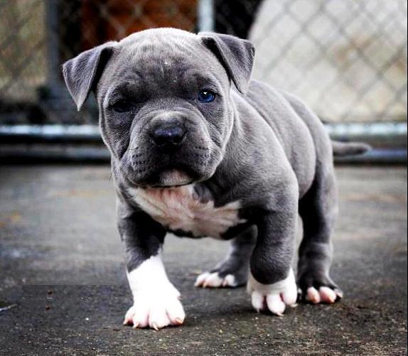 Cachorro de Raza Pitbull Tierno