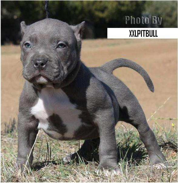 Cachorro de Raza Pitbull de baja estatura y musculoso