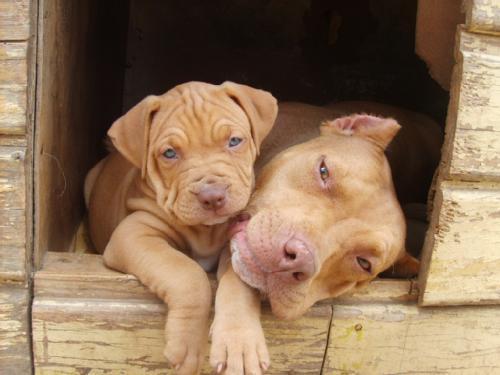 El American Pit bull Terrier cachorro con su madre