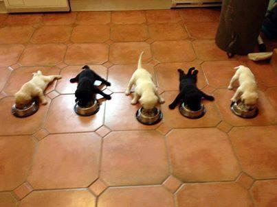 Perros cachorros Pitbull comiendo