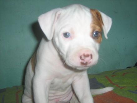 Pitbull Cachorro de solo unos meses