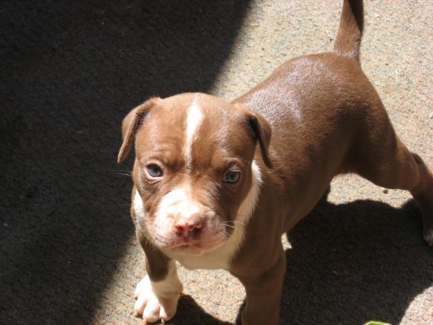 fotos-pitbull-cachorros-color