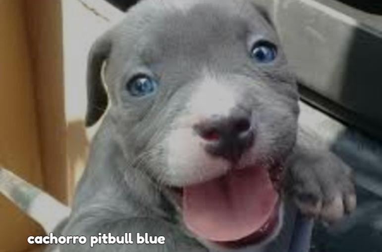 Pitbull Blue Raza Pitbull