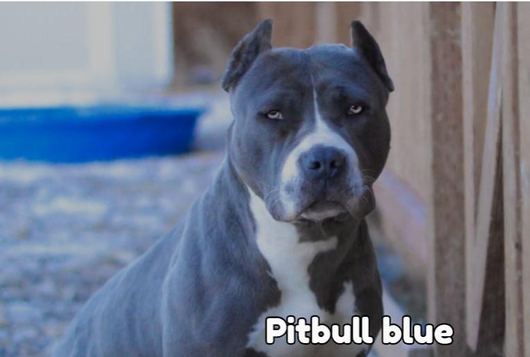 Pitbull blue precio